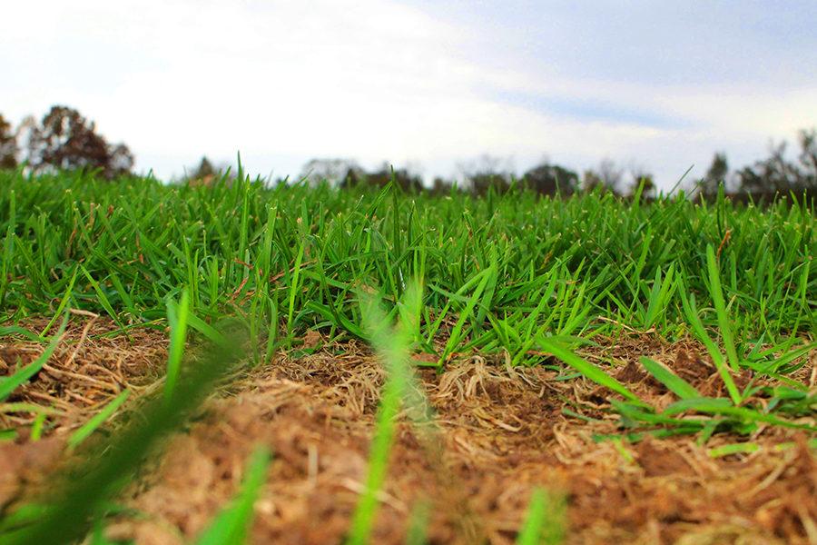 Green grass blossoms behind a patch of dead grass.